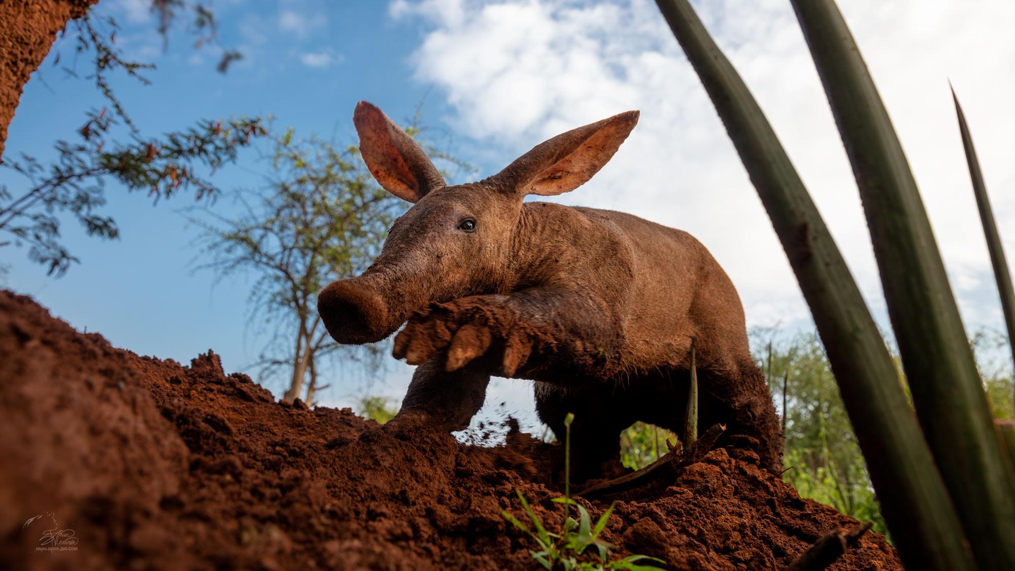 Aardvark digging termite mound
