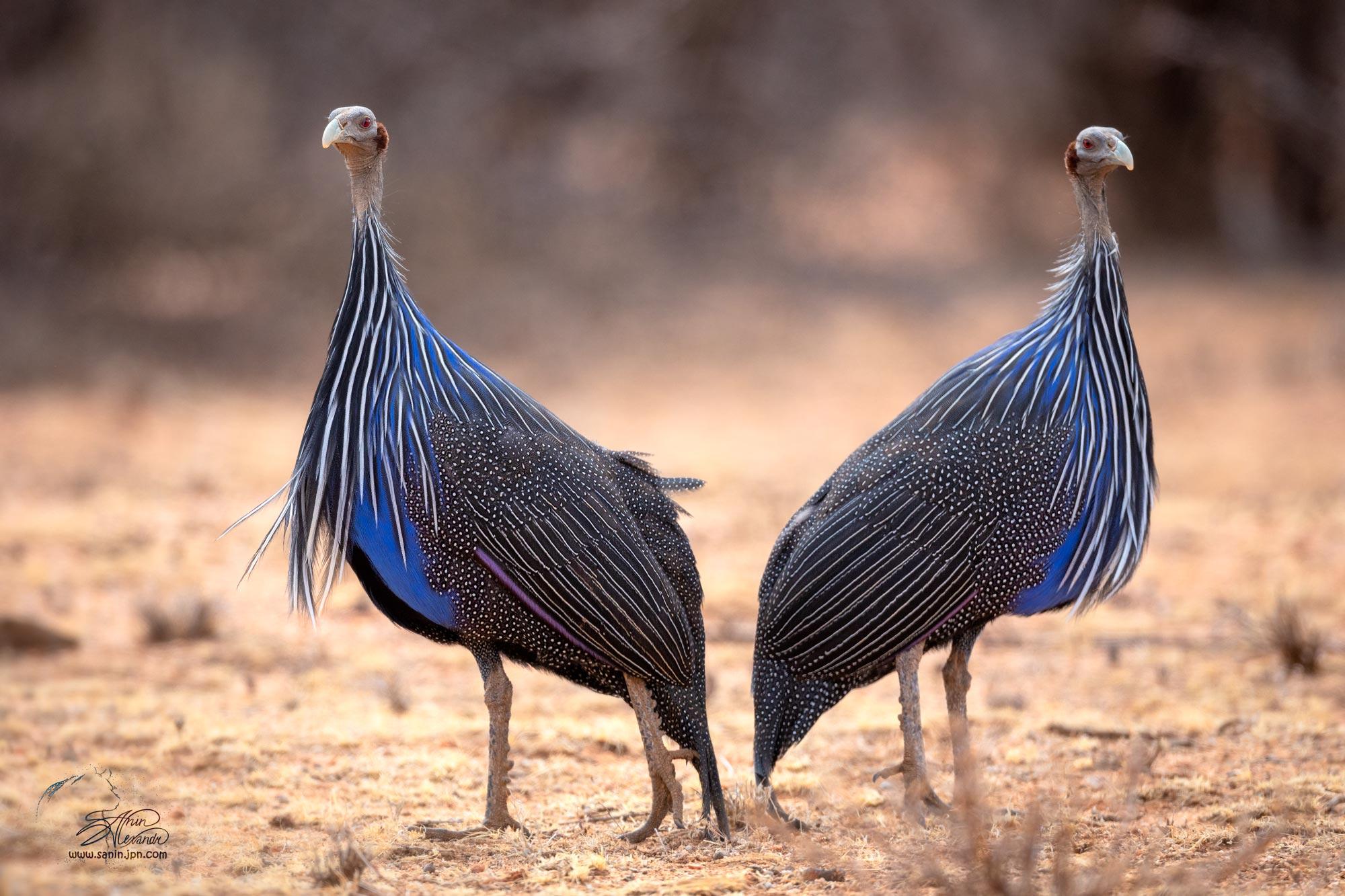 Vulturine guineafowl / Грифовая цесарка в Самбура Нац. парке