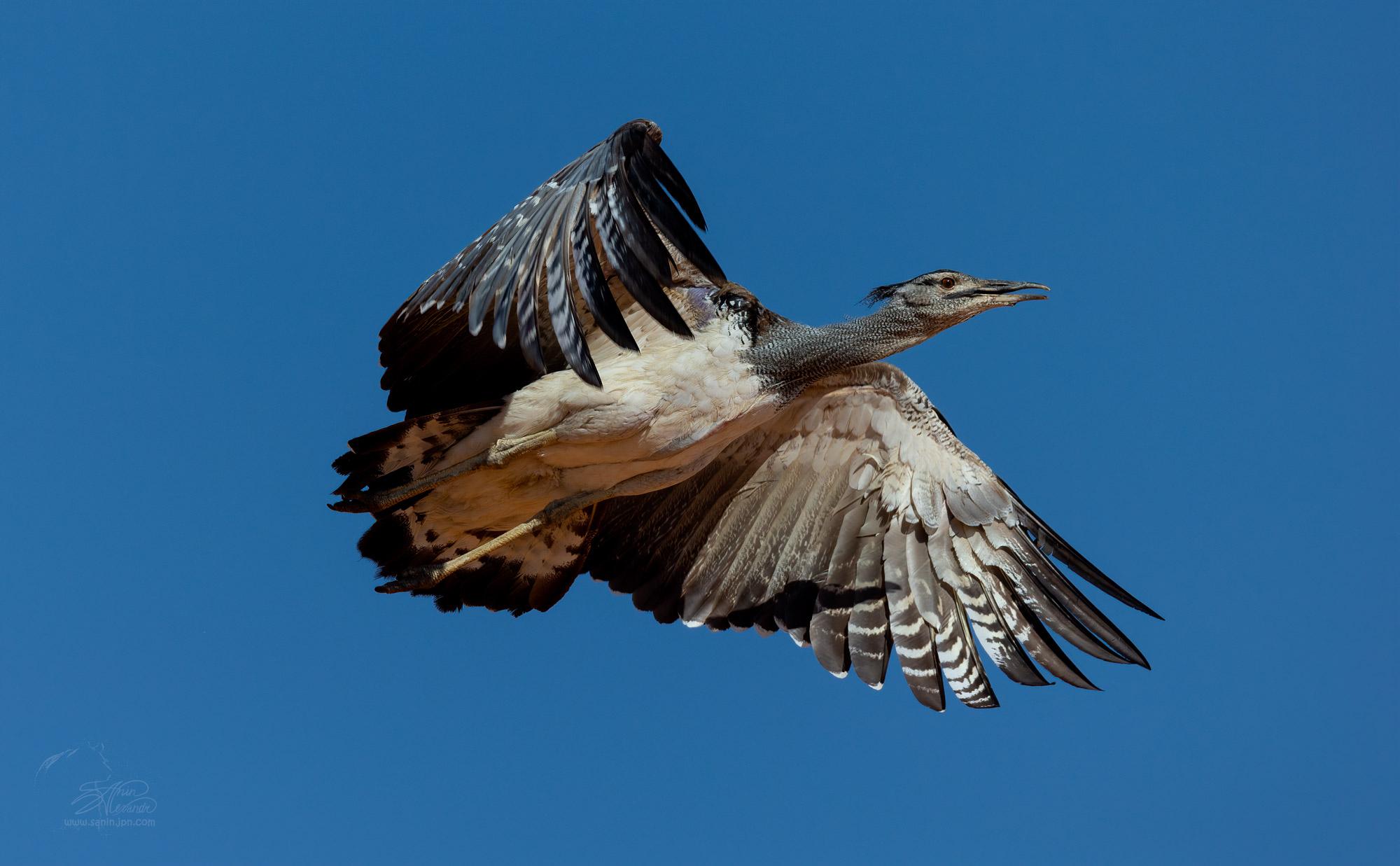Kori bustard in flight