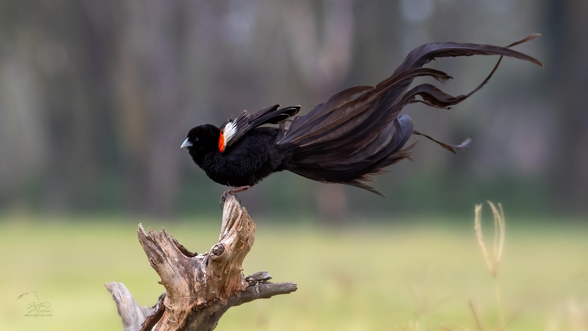 Long-tailed widow bird (Длиннохвостый бархатный ткач) in Nakuru NP, Kenya