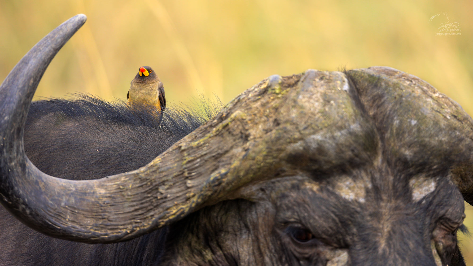 Oxpecker on a buffalo