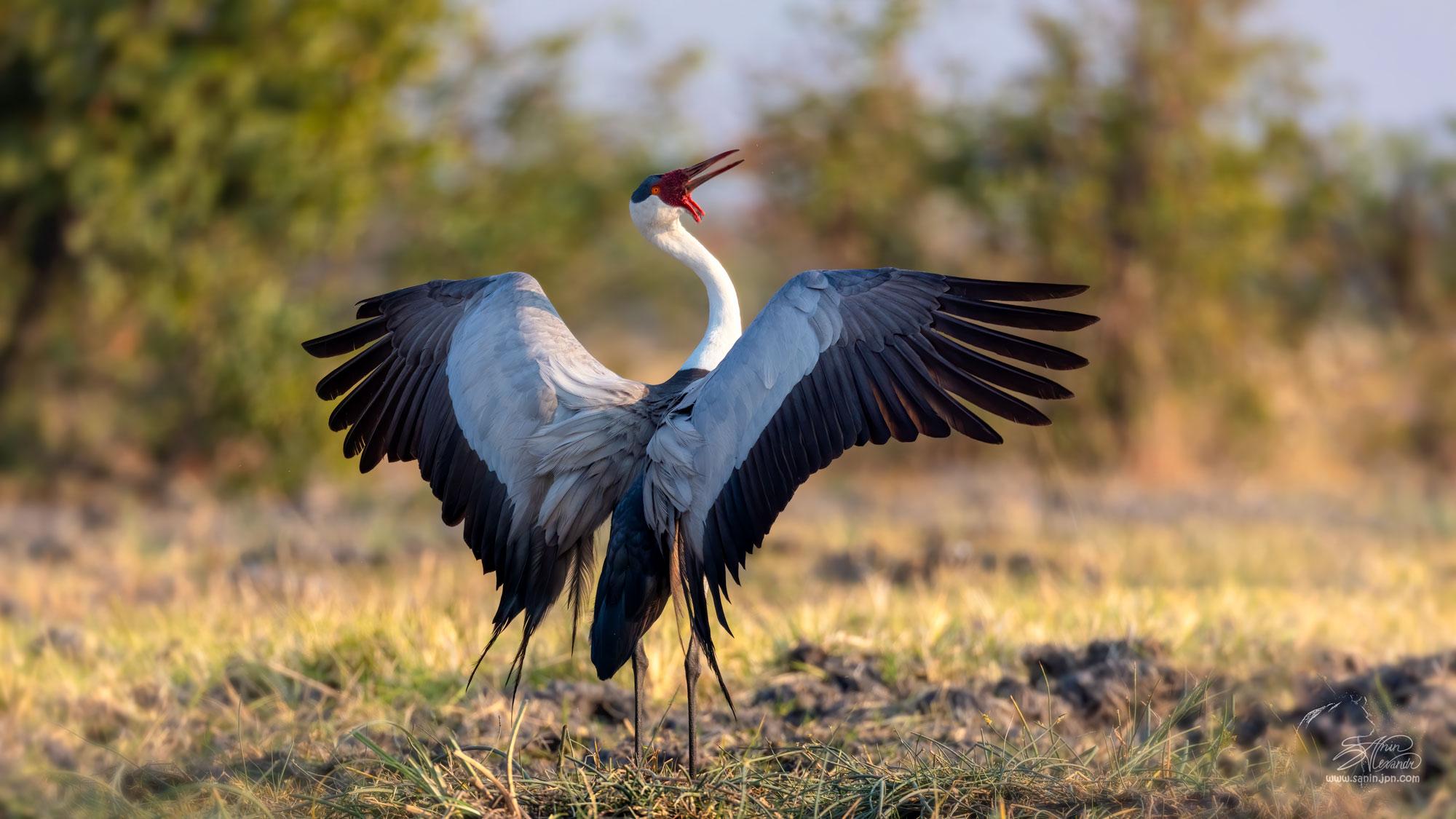 Wattle crane in Botswana