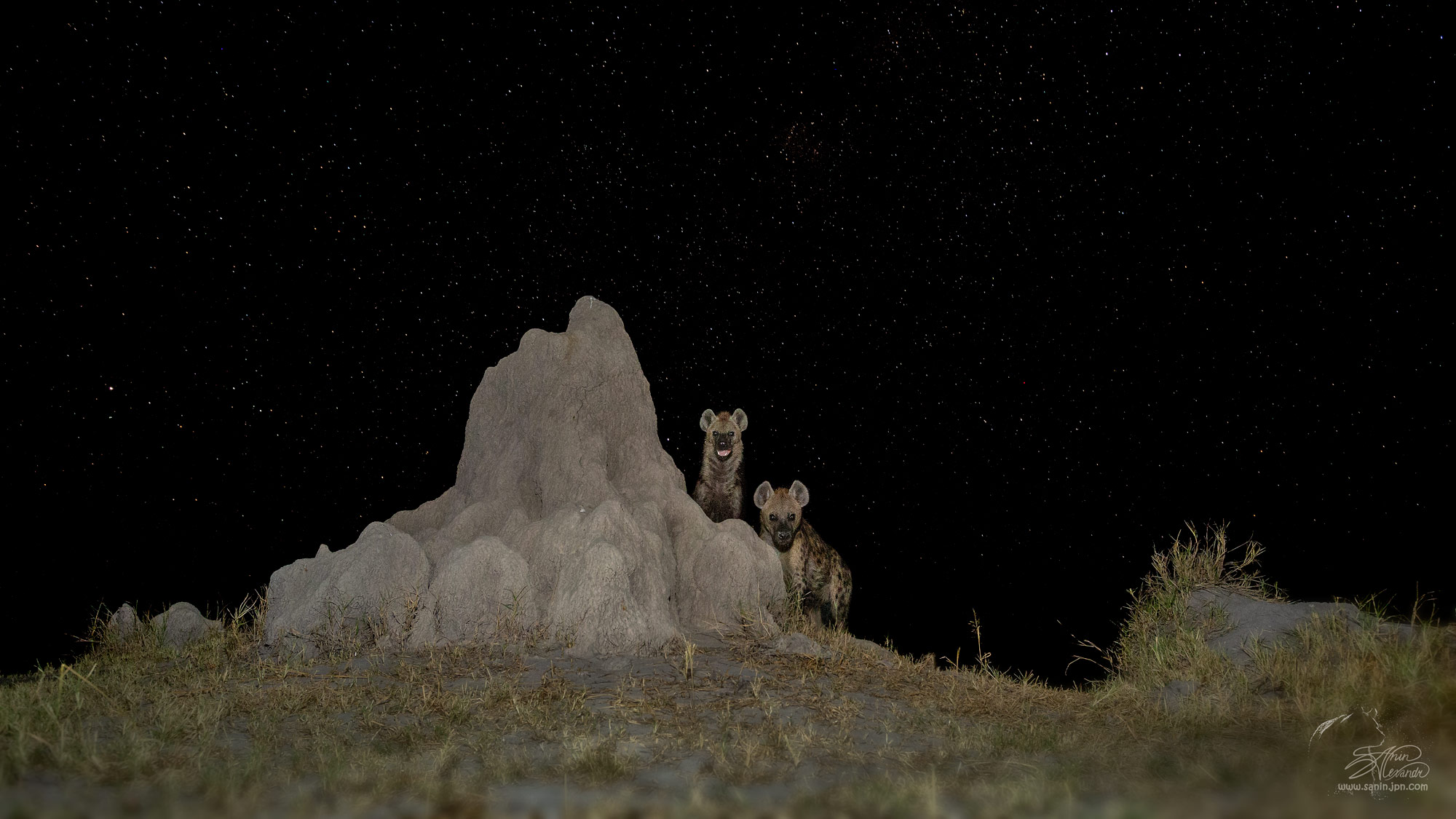 Hyenas on the termite mound.Milky way at the background