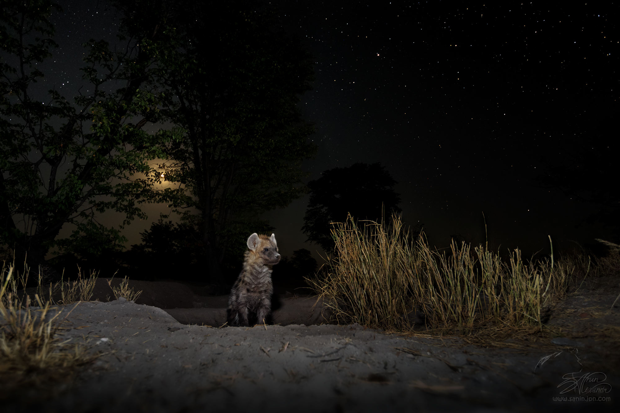 Hyena cub comes out of the den.Moon at the background. Photographed by the Beetlecam