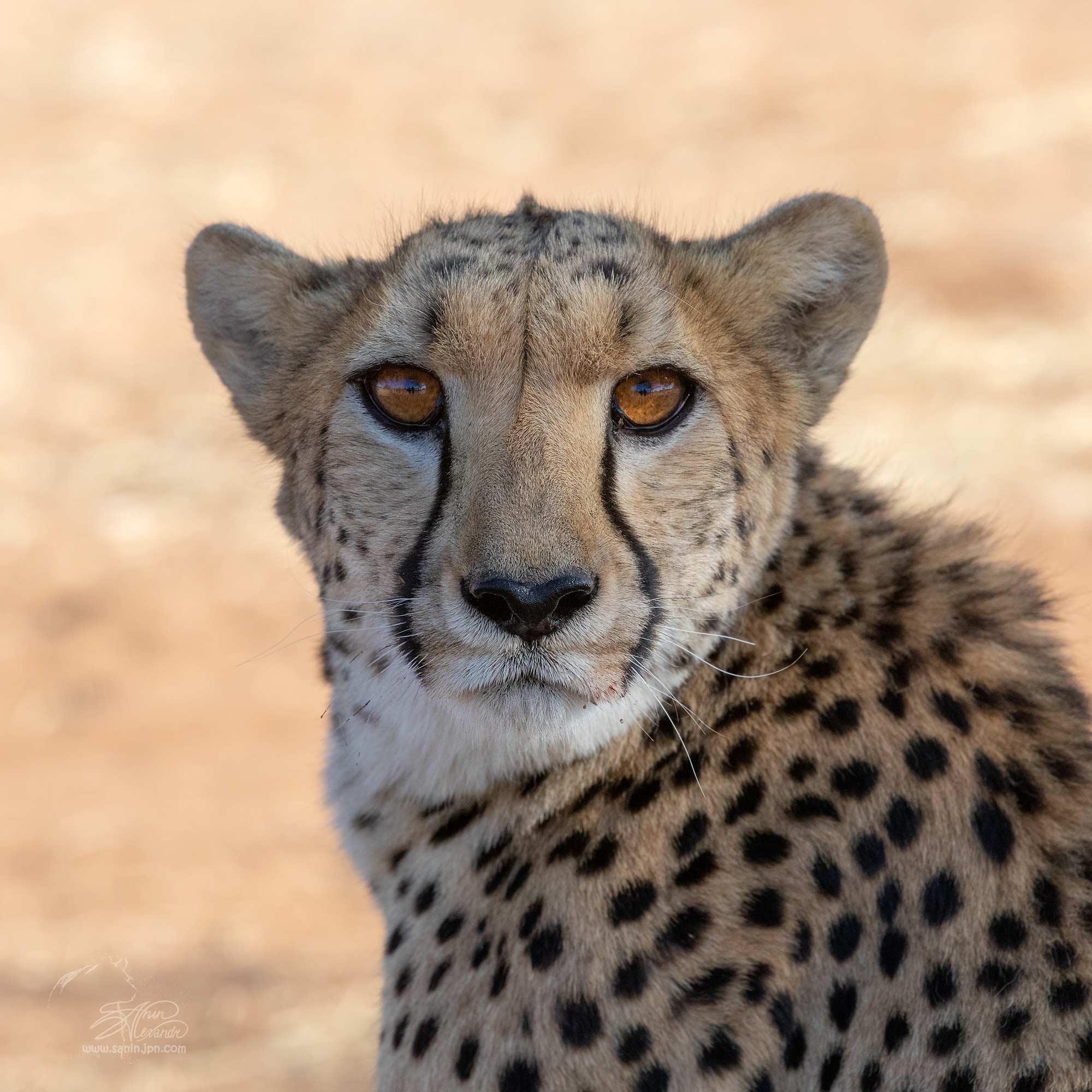 Cheetahs cought dik-dik