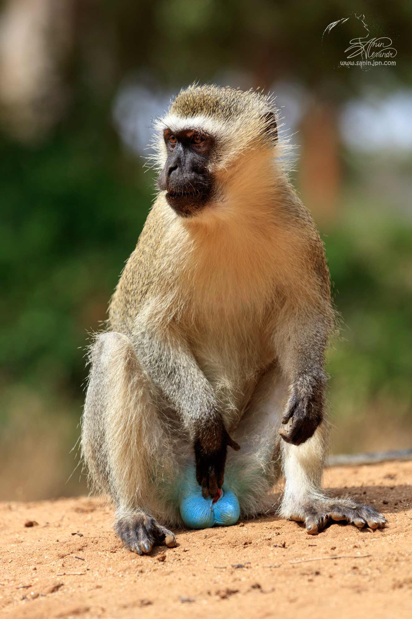 Red tail monkey