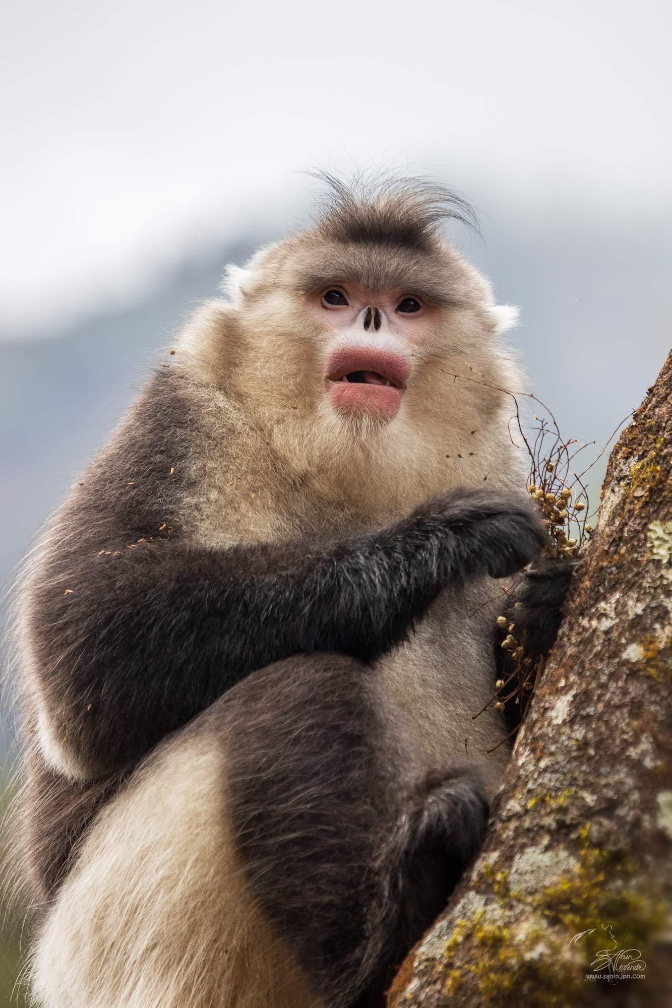 Yunan snub-nosed monkey