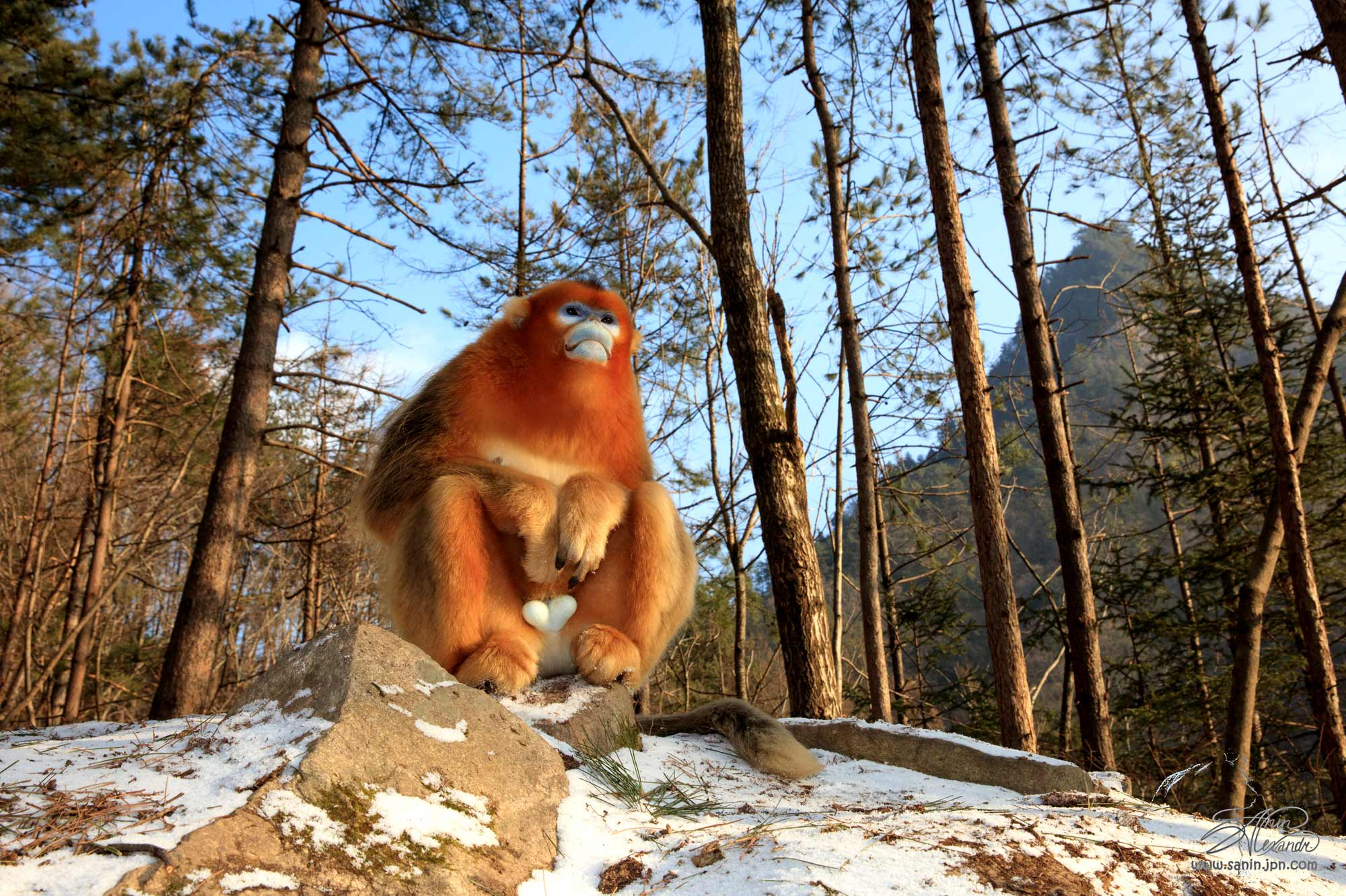 Golden snub-nosed monkey in the Qinling mountains. China