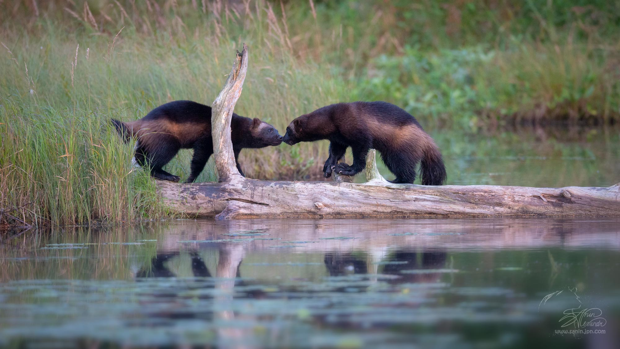 Two wolverines