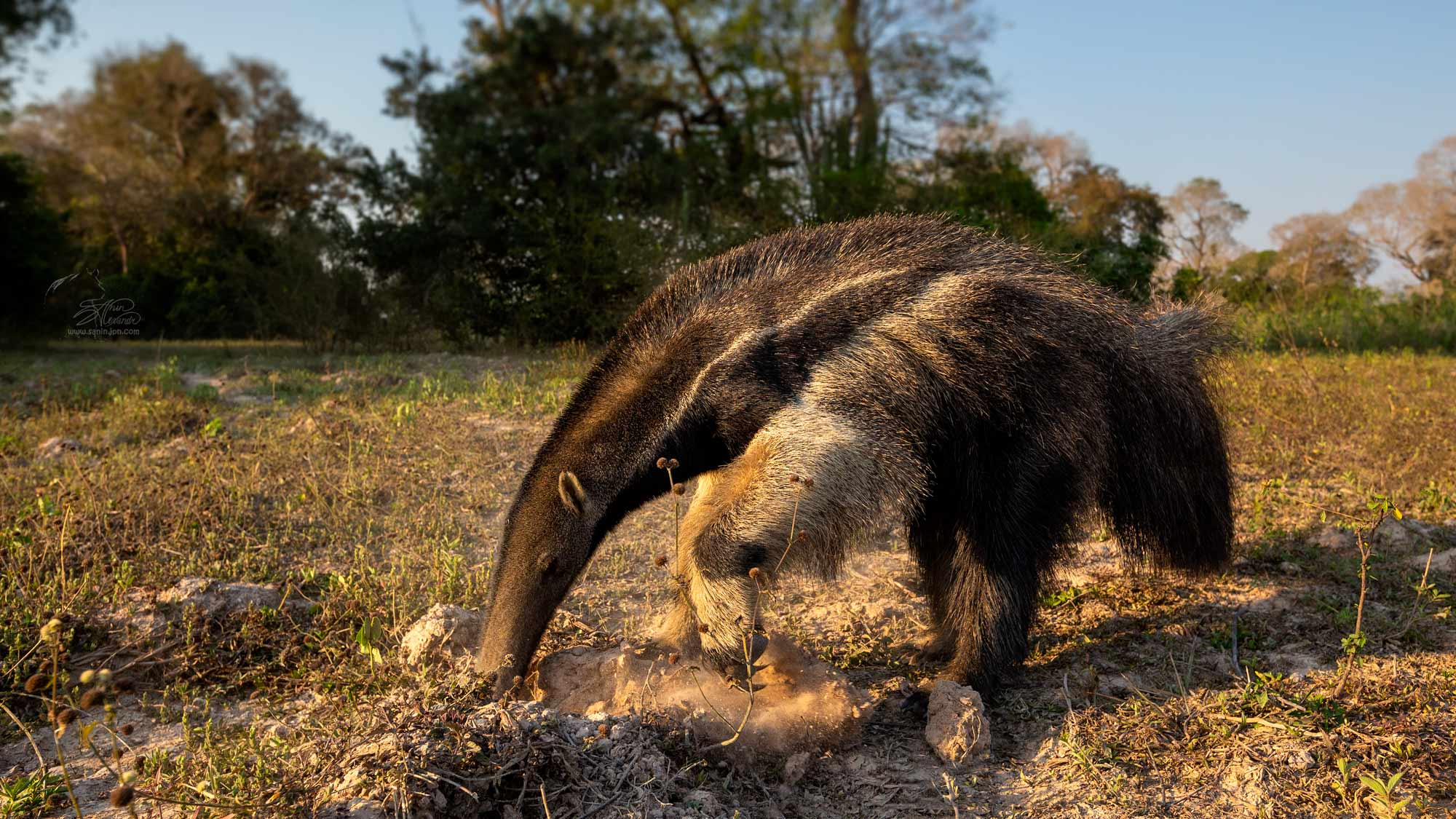 Giant ant-eater digging for ants in Brazil