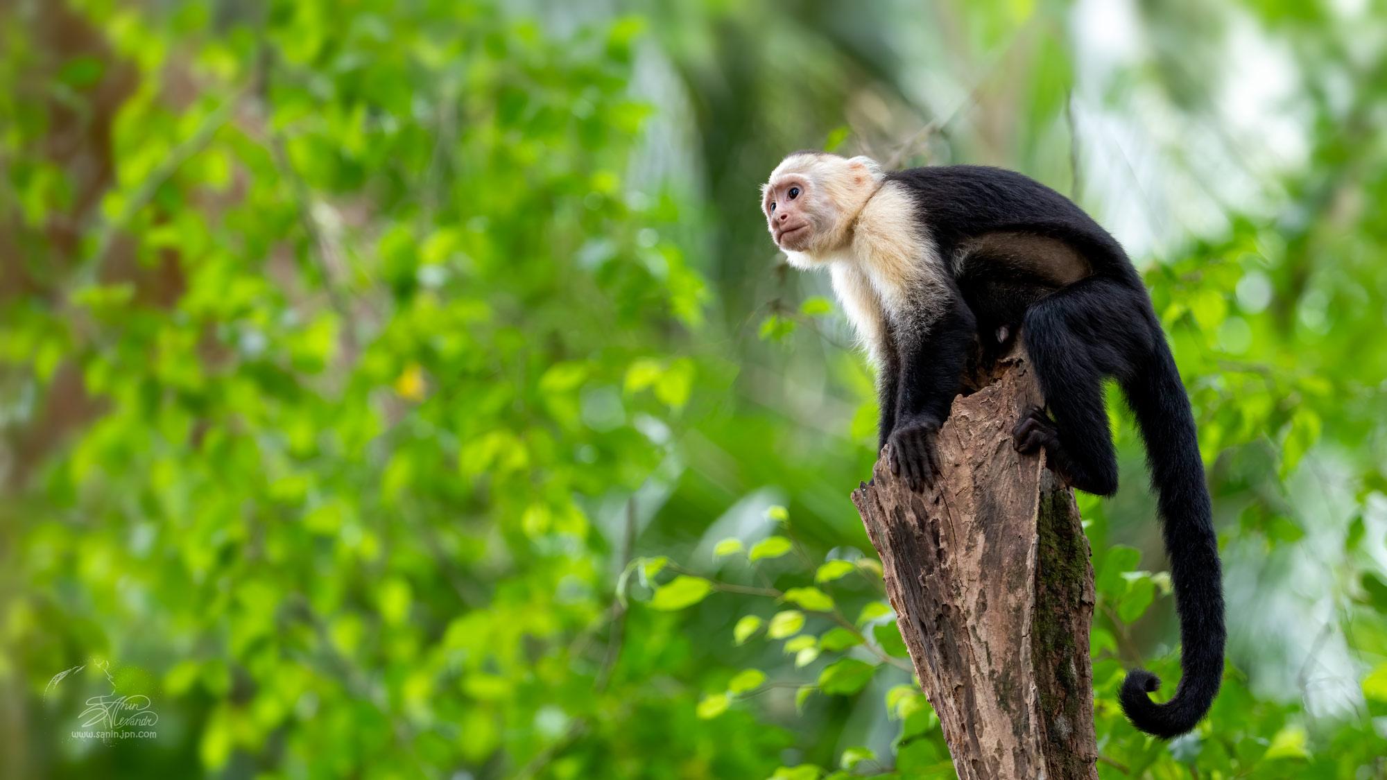 White-faced capuchin in Costa-Rica
